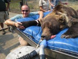 Когда у 8-ми летнего медведя гризли по имени Кнут в заповедни...